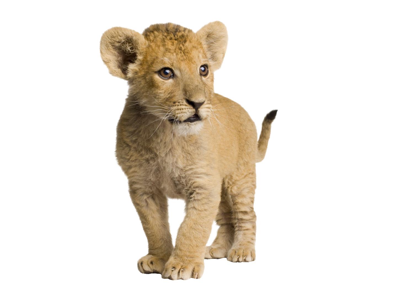 . PlusPng.com Lion cub by sylvana-creation - PNG Cub