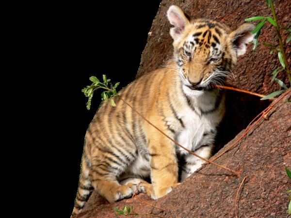Tiger Cub PNG by chaseandlinda PlusPng.com  - PNG Cub