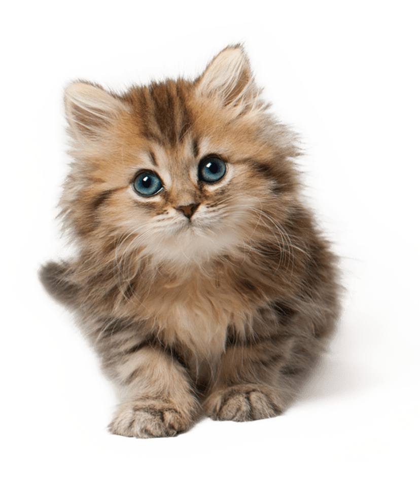 PNG Cute Cat