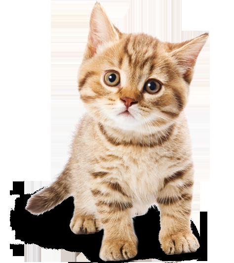 PNG Cute Cat - 133053