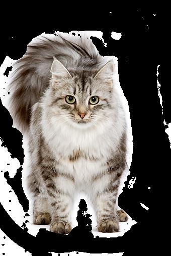 PNG Cute Cat - 133056