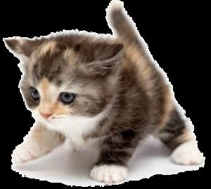 PNG Cute Cat - 133052