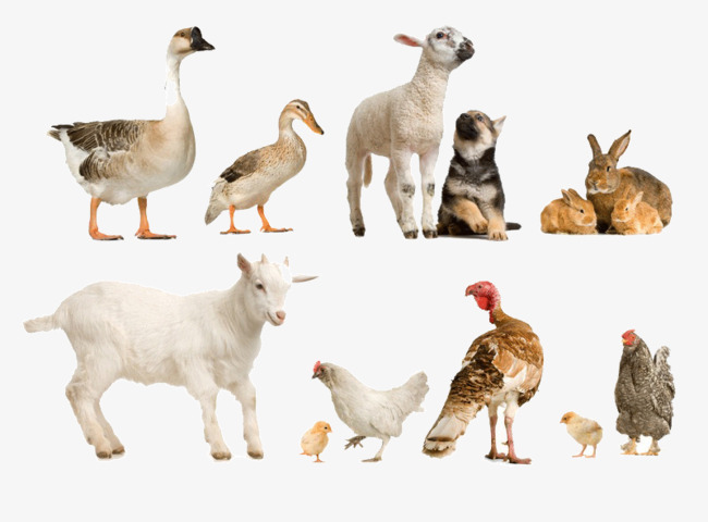 Domestic animals sheep ducks turkey, Hen, Chick, Rabbit PNG Image and  Clipart - PNG Domestic Animals