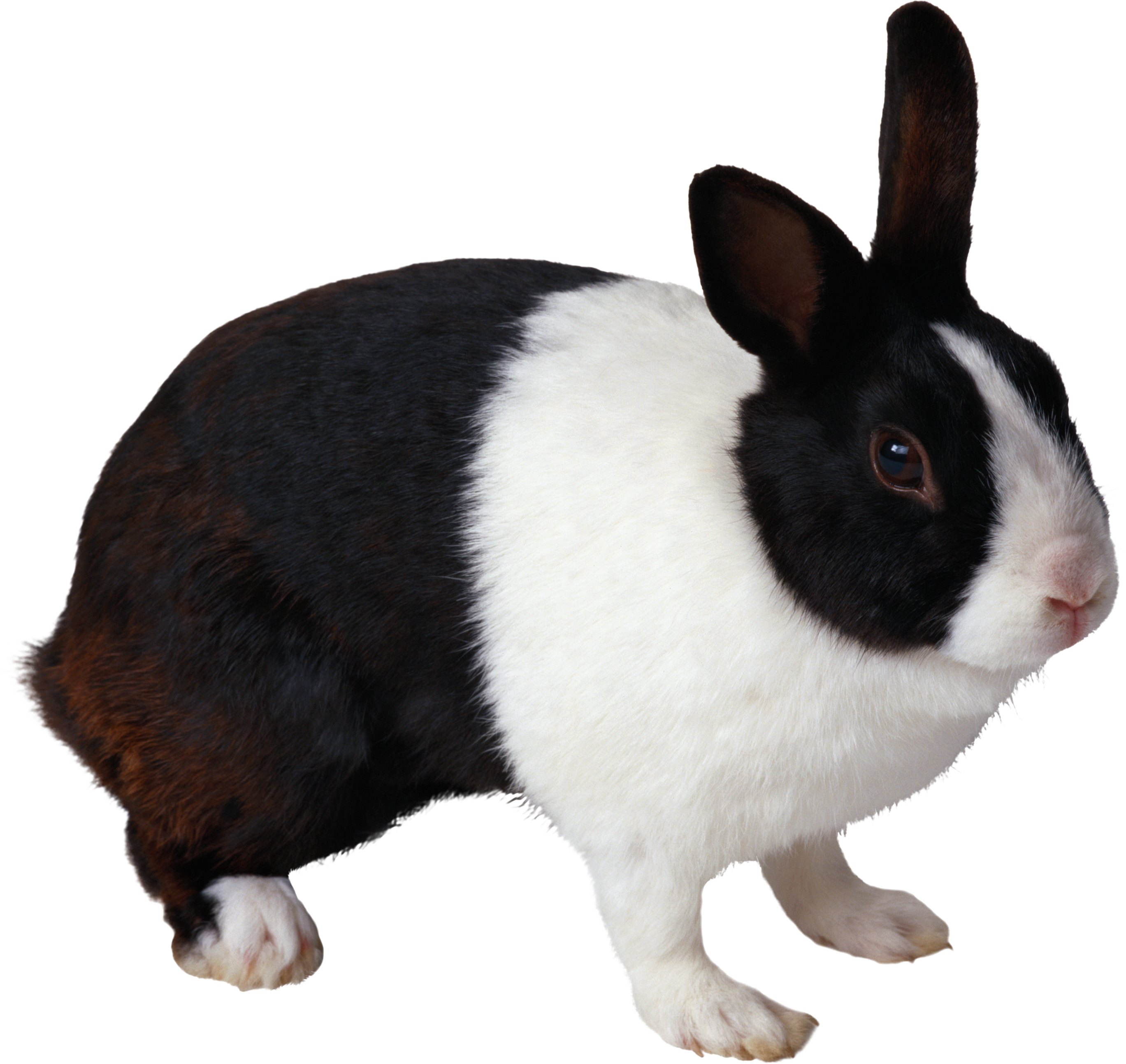 Rabbit PNG image - PNG Domestic Animals