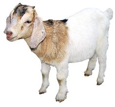 small-goat-clipart - PNG Domestic Animals