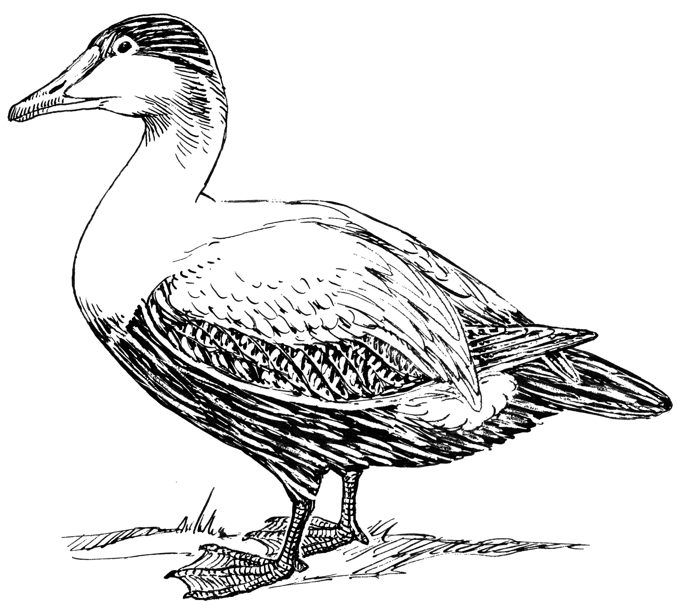 File:Elder Duck 001.png - PNG Duck Black And White