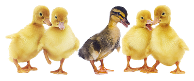 ducks in a row clipart - Google Search - Free PNG Ducks In A Row - PNG Ducks In A Row
