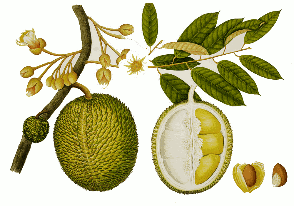 PNG Durian - 135718