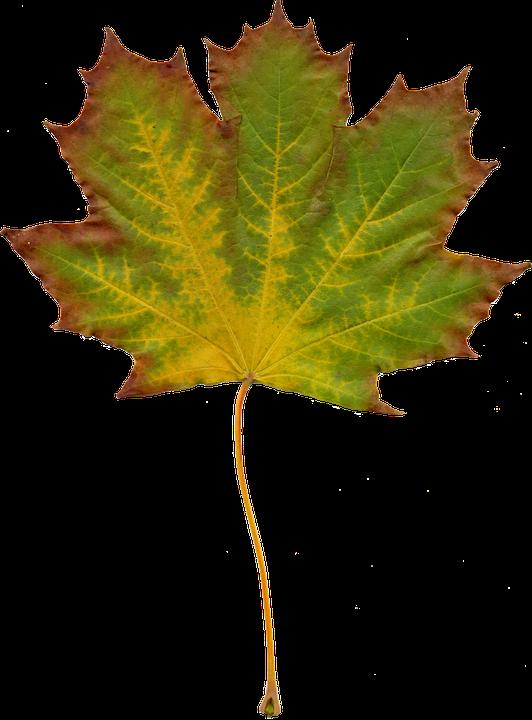 blade natur efterår grafik efterår blad gule blade - PNG Efterar