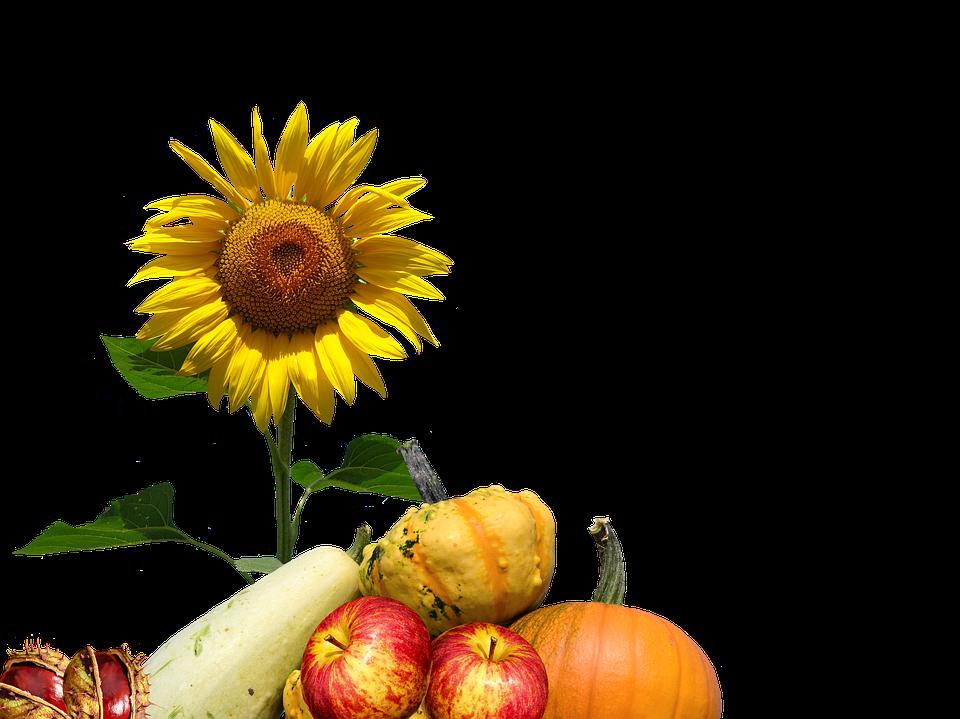 Herbst, Sonnenblume, Erntedank, Oktober, Herbstlich - PNG Erntedank Kostenlos