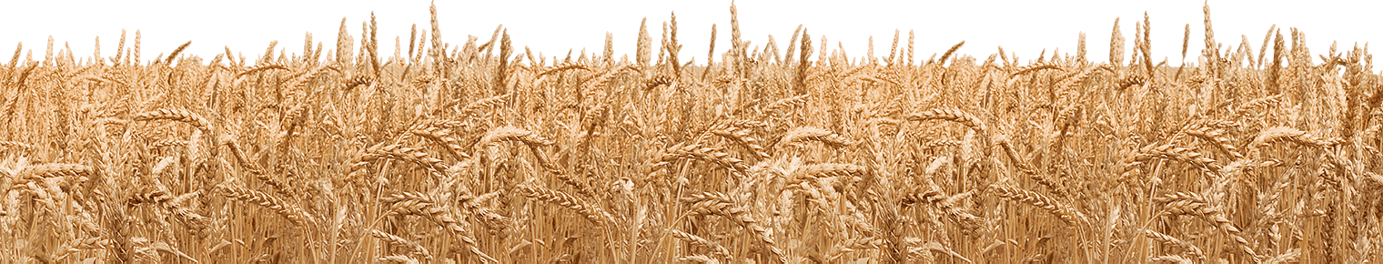 Wheat PNG - PNG Field