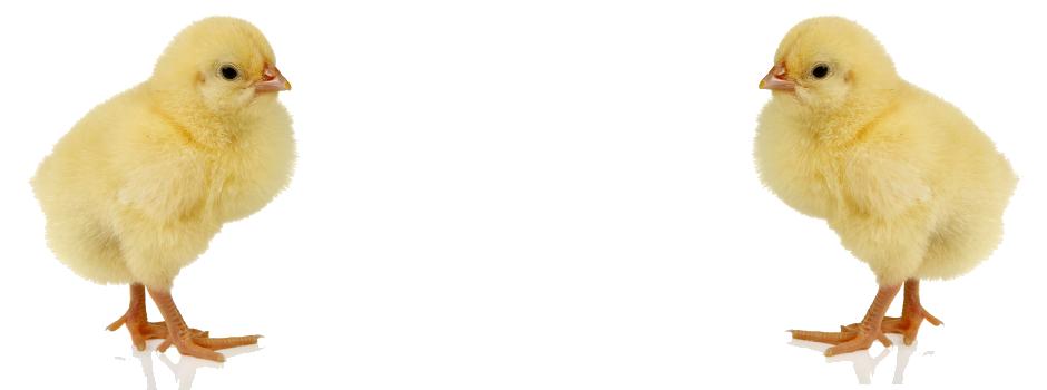 Chicken PNG - 6791