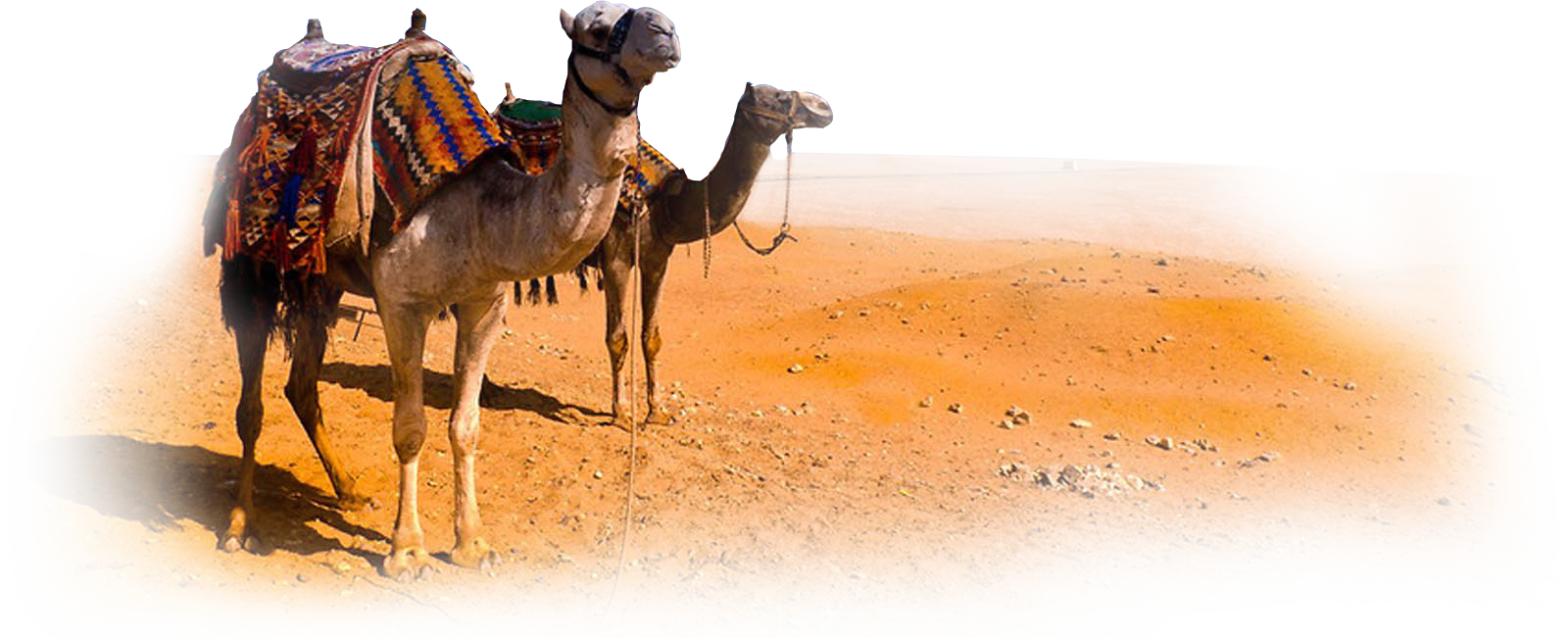 PNG File Name: Camel PlusPng.