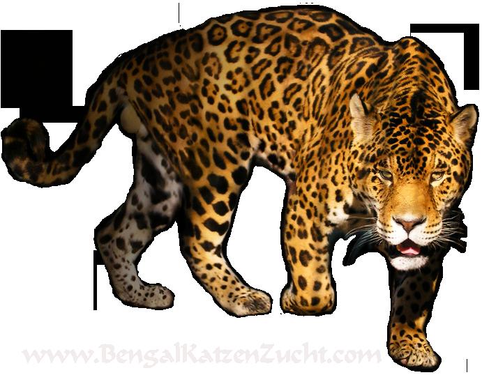 Leopard PNG - 6347