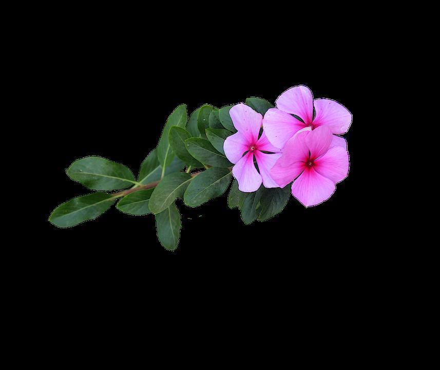 immagine png fiori rosa fiori bloom fioritura - PNG Fiori Gratis
