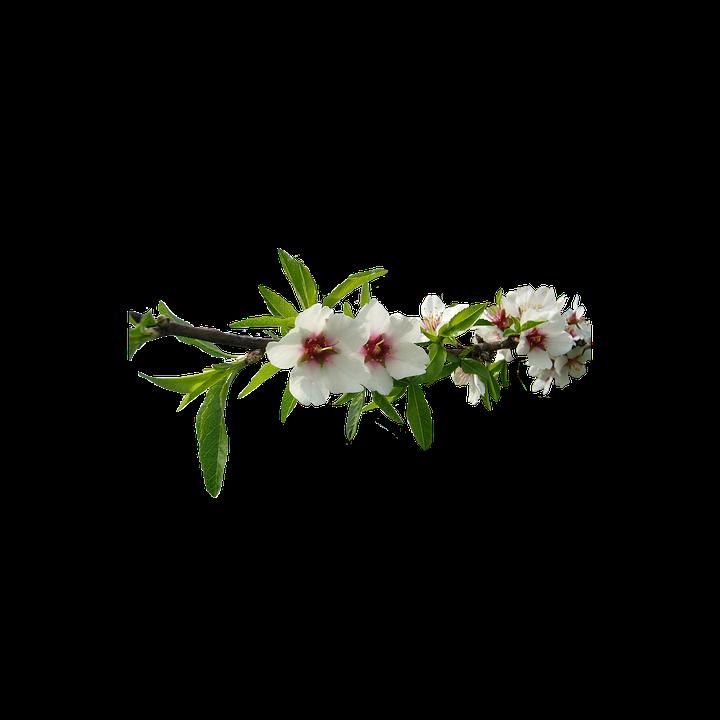 mandorlo fiori bianchi natura del mandorlo fiore - PNG Fiori Gratis
