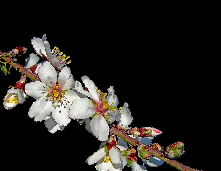 ramo di mandorlo in fiore fiore di mandorla fiori - PNG Fiori Gratis