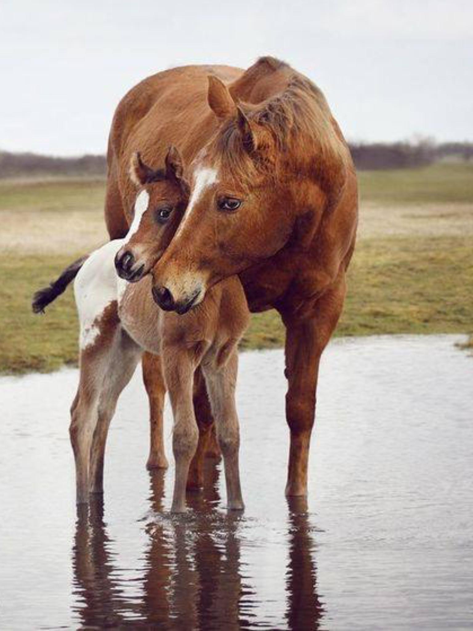 Im Wasser kuschelt dieses Pferd mit dem Fohlen. #APASSIONATA | Free  spirits, horses❤ | Pinterest | Horse, Animal and Funny animal - PNG Fohlen