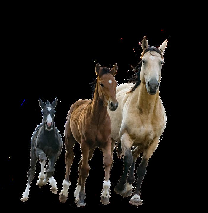 pferde stute fohlen isoliert ausschnitt colt - PNG Fohlen
