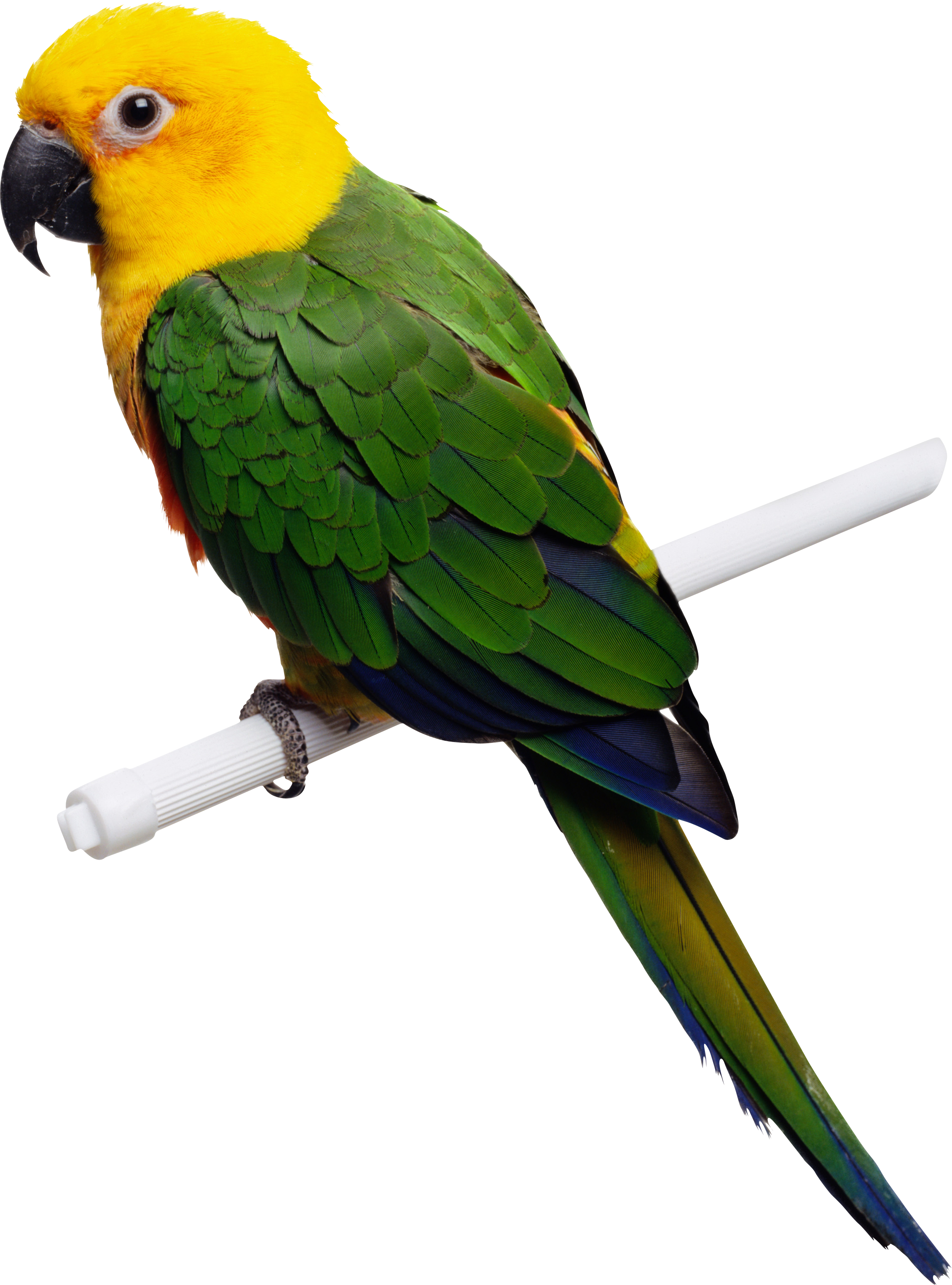 Green-yellow parrot PNG images, free download - PNG Free Download