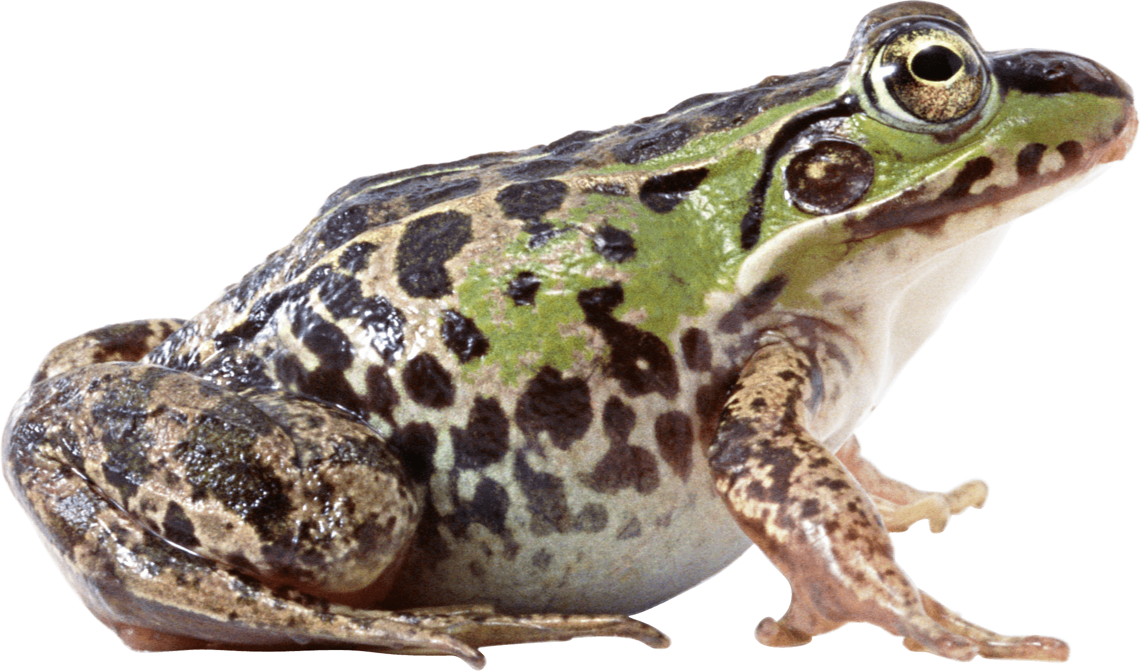Fat Frog Sideview - PNG Frogs Free
