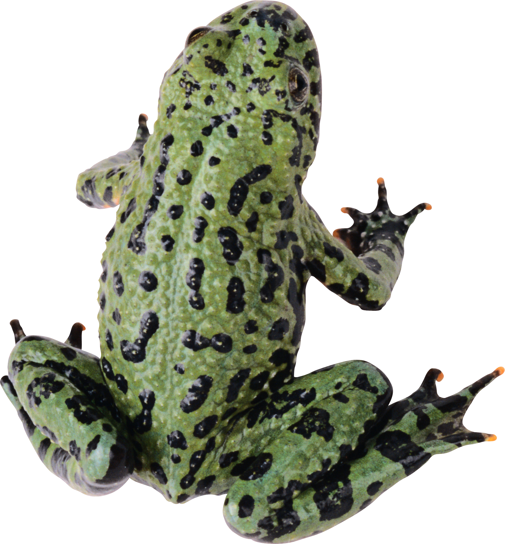 Frog PNG - PNG Frogs Free