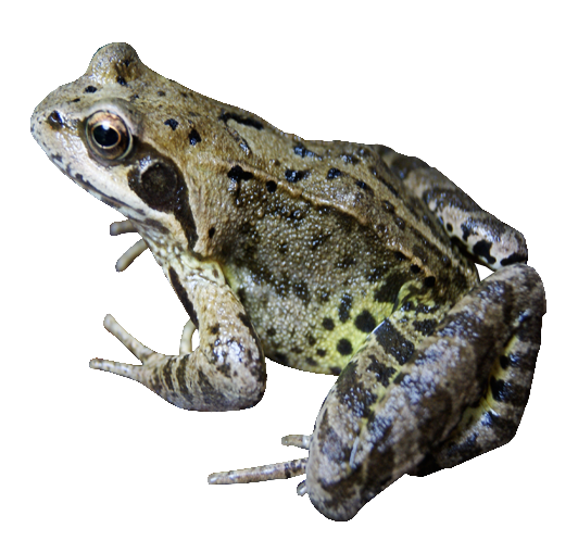 Frog PNG File - PNG Frogs Free