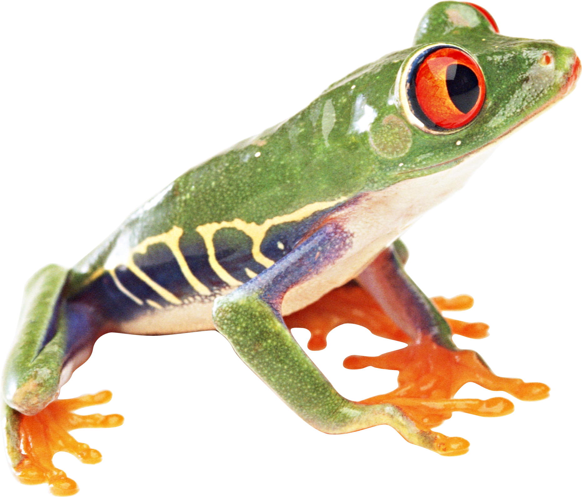 frog PNG image - PNG Frogs Free