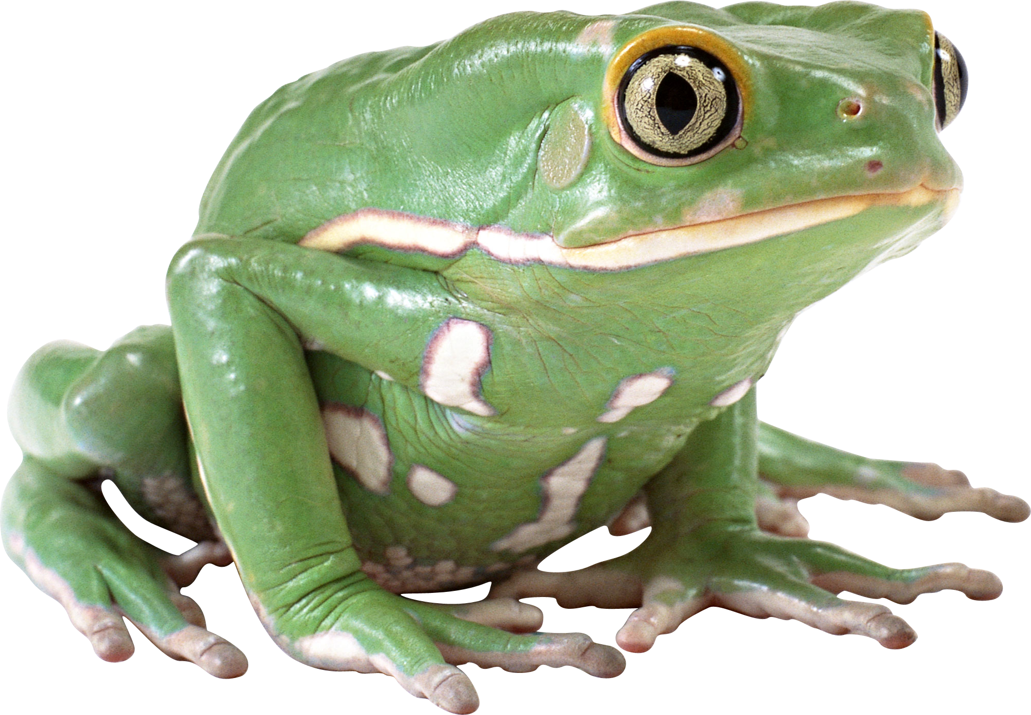 Frog PNG Image Free Download Image, Frogs image #43154 - PNG Frogs Free