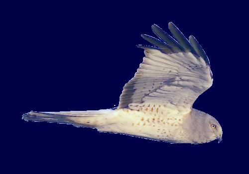PNG Fugle - 66223
