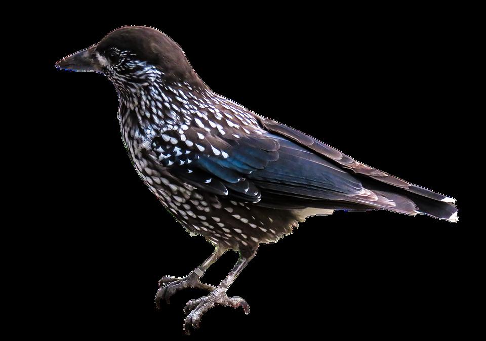 PNG Fugle - 66225