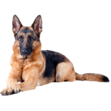 PNG German Shepherd-PlusPNG.com-220 - PNG German Shepherd