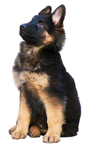 PNG German Shepherd-PlusPNG.com-300 - PNG German Shepherd
