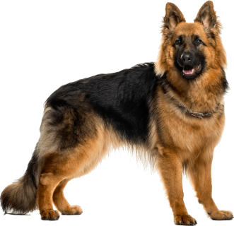 PNG German Shepherd-PlusPNG.com-331 - PNG German Shepherd