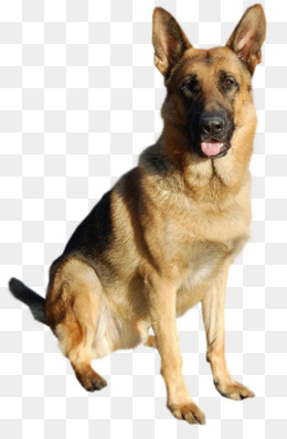 Cute German Shepherd dog tongue, Tongue, Lovely, Dog PNG Image - PNG German Shepherd