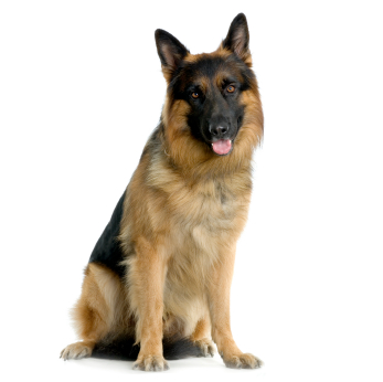 Generic Shepherd Sitting 2 - PNG German Shepherd