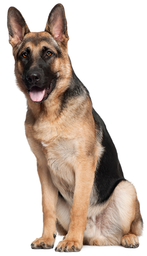 German Shepherd - PNG German Shepherd
