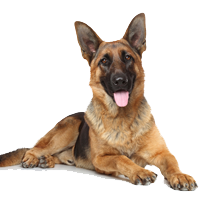 How active are German Shepherds - Advice from REAL German Shepherd Owners - PNG German Shepherd