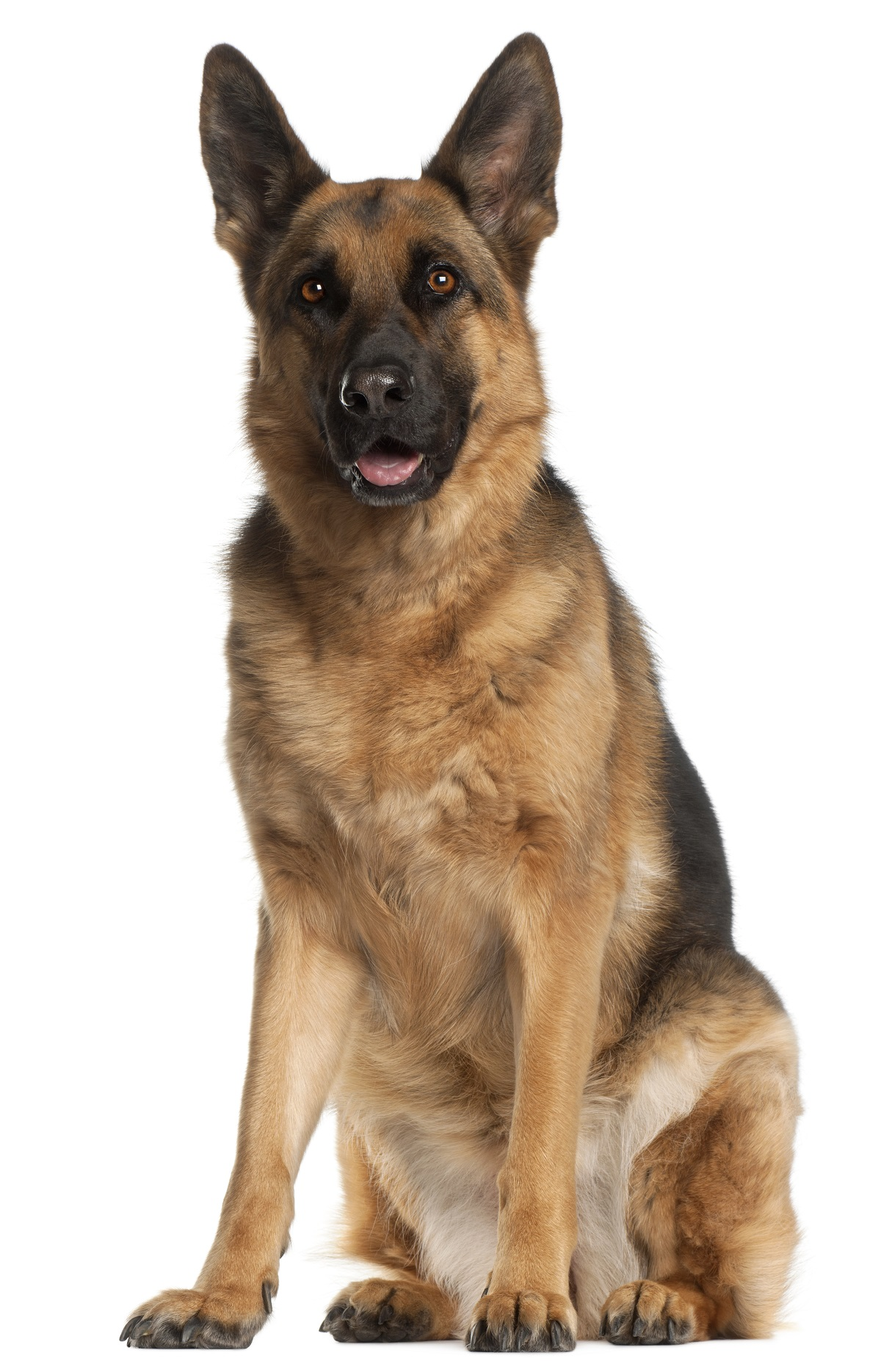 Moti the Hero German Shepherd - PNG German Shepherd