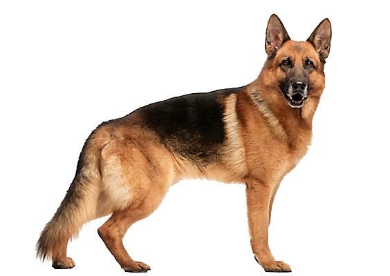 The German Shepherd has the appearance of high physical capacity and mental  alertness. German Shepherds are strong, agile, well-muscled dogs that are  longer PlusPng.com  - PNG German Shepherd
