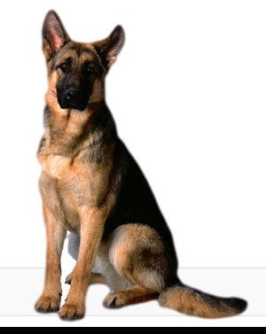 PNG German Shepherd - 66093