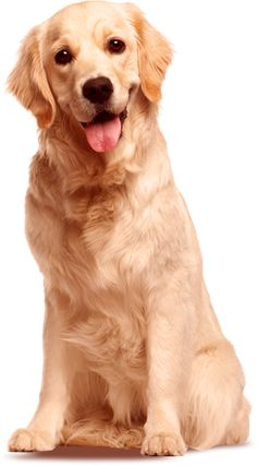 PNG Golden Retriever Dog - 53062