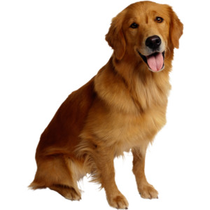 PNG Golden Retriever Dog - 53072