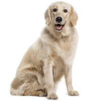 PNG Golden Retriever Dog - 53066