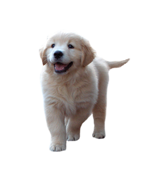PNG Golden Retriever Dog - 53070