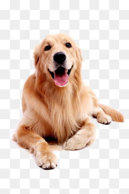 PNG Golden Retriever Dog - 53060