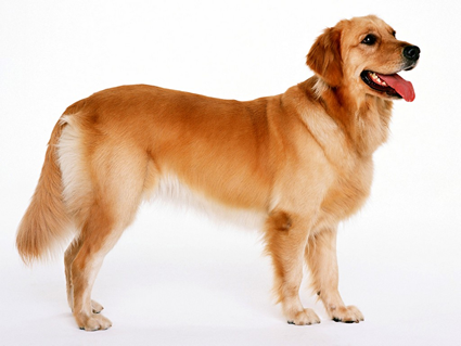 PNG Golden Retriever Dog - 53063