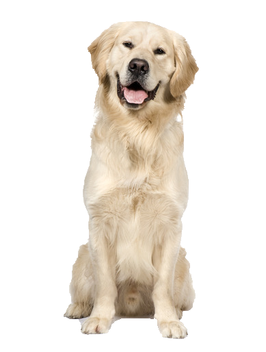 PNG Golden Retriever Dog - 53059