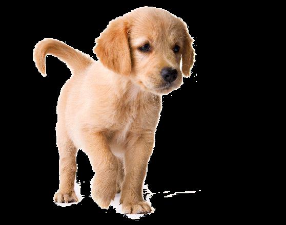 Retriever Dog Collars