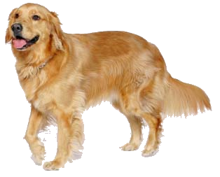 PNG Golden Retriever Dog - 53067